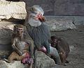 Ist was los fragt sich der Mantelpavian Tiergarten Worms 2011.JPG
