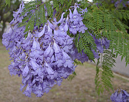 Jacaranda mimosifolia flowers and leaves
