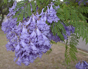 Jacaranda mimosifolia flowers and leaves.jpg