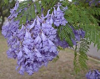 <i>Jacaranda mimosifolia</i> species of plant