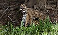 Jaguar Pantanal JF5.jpg