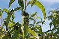 Japanese Beetle Feeding on Peach Tree.jpg