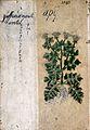 Japanese Herbal, 17th century Wellcome L0030042.jpg