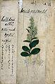 Japanese Herbal, 17th century Wellcome L0030080.jpg