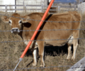Jersey cow.png