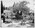 Jerusalem (El-Kouds). Old olive tree in Garden of Gethsemane LOC matpc.06704.jpg