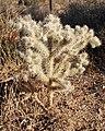 Joshua Tree NP - Cholla Cactus 1.jpg