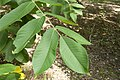 Juglans mandshurica var. sachalinensis 10.jpg
