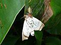 Jumping Spider (Salticidae) feeding on a moth (6952857410).jpg