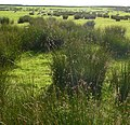 Juncus rushes - panoramio.jpg
