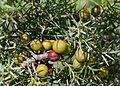 Juniperus - Flickr - S. Rae (1).jpg