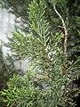 Juniperus chinensis at Akola, India7.jpg