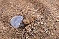 Juvenile Blainsville's Horned Lizard (28151355680).jpg