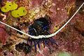 Juvenile Lobster (4530905138).jpg