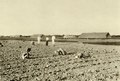 KITLV - 78322 - Kleingrothe, C.J. - Medan - Coolies plant tobacco plants on a plantation of the Amsterdam Deli Company in Medan, Sumatra - circa 1900.tif