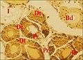 Kaira alba, glandes séricigènes piriformes.jpg