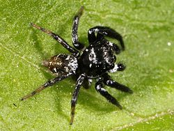 Kaldari unknown salticid C 02.jpg
