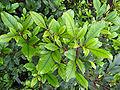 KamahiFoliage.jpg