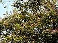 Kanchan tree Bauhinia variegata by Dr. Raju Kasambe DSCN0979 (1).jpg