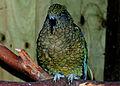 Kea (Nestor notabilis) -Waikanae -NZ-8.jpg