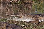 Kenyan crocodile (Crocodylus niloticus pauciscutatus).jpg