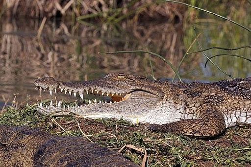 512px-Kenyan_crocodile_%28Crocodylus_niloticus_pauciscutatus%29 What Is The Most Dangerous Crocodile In The World?