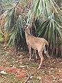 Key deer (37420312000).jpg