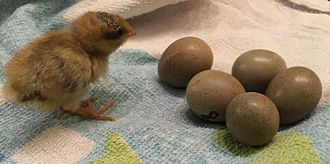 King quail - King quail eggs and 10 day old chick
