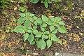 Kluse - Physalis philadelphica - Tomatillo 25 ies.jpg