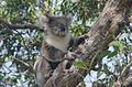 Koala GreatOtwayNationalPark.jpg