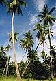 Koh Phangan Kokospalmen 8.2001.jpg