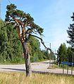 Koisjärven mänty.jpg