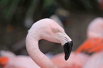Chilean flamingo - Head of a Chilean flamingo at Durrell Wildlife Park (Jersey)
