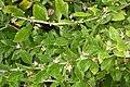 Korina 2010-08-25 Lycium chinense 1.jpg