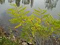 Korina 2010-10-13 Amorpha fruticosa.jpg