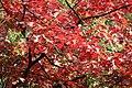 Korina 2015-10-10 Quercus rubra 7.jpg