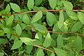 Korina 2017-06-04 Spiraea japonica.jpg