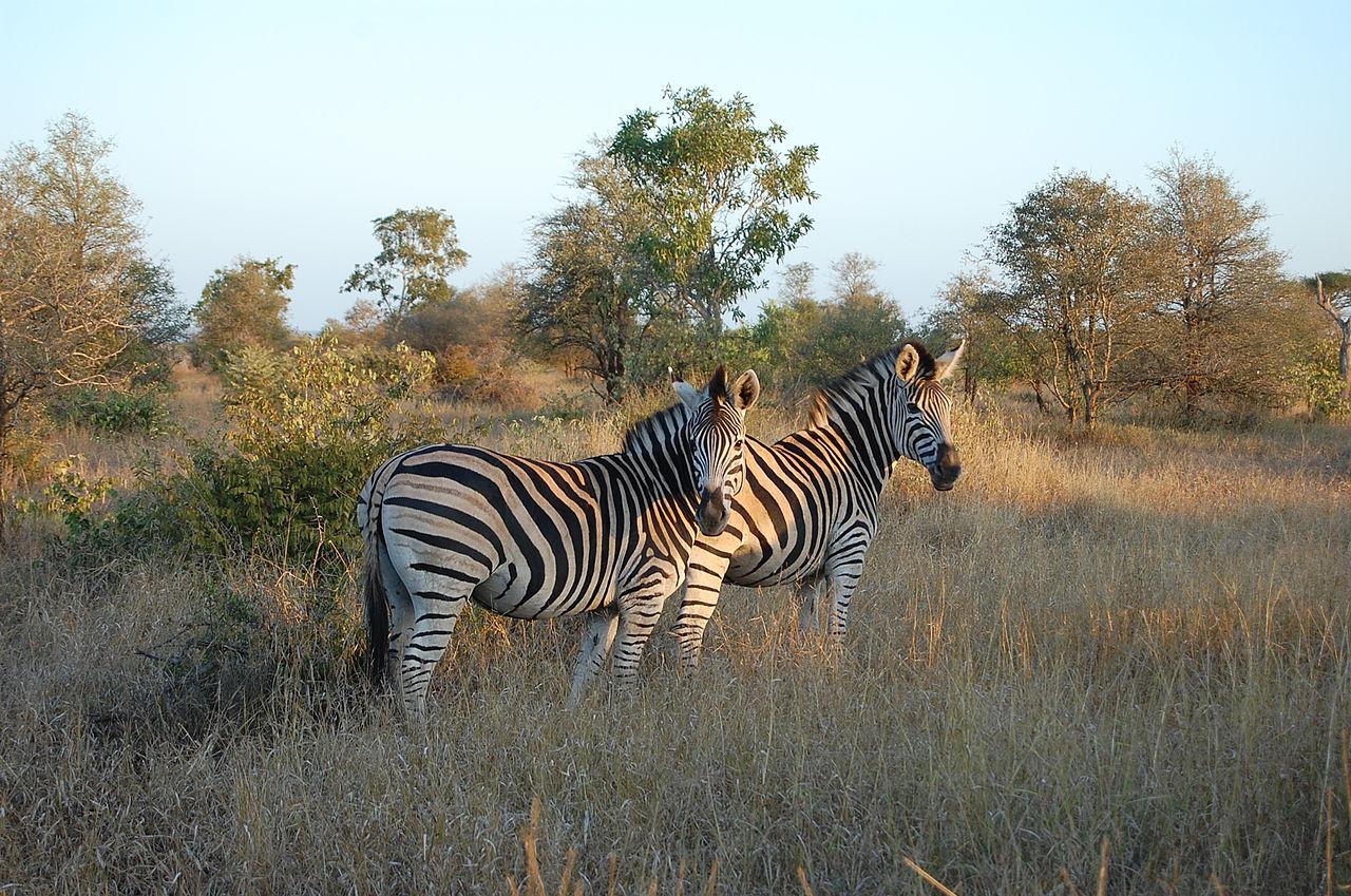 1280px Kruger Zebra