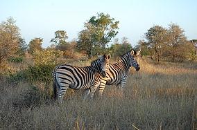 Kruger Zebra.JPG