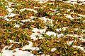 Kvetoucí sněženky v PP Sněženky ve Vysokém lese 44.jpg