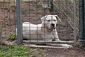 Labrador Retriever - Can labrador. Galiza.jpg
