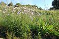 Lactuca perennis La Taillade 2.jpg