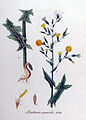 Lactuca scariola — Flora Batava — Volume v11.jpg