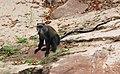 Laika ac Blue Monkey (9899224573), crop.jpg