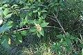 Lantana camara plant DC2.jpg