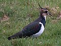 Lapwing, Bowling Green Marsh - geograph.org.uk - 93284.jpg