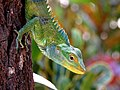 Large-scaled forest lizard IMG 1023.jpg