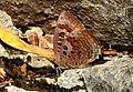 Large Oakblue Arhopala amantes by Dr. Raju Kasambe DSCN3031 (6).jpg