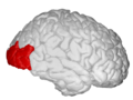 Lateral Occipital - DK ATLAS.png