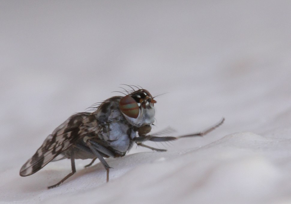 Lauxaniidae Unidentified Cestrotus species 2012 03 05 3467s